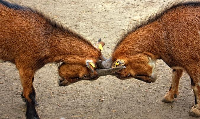 goats-animal-bock-billy-goat-67280.jpg
